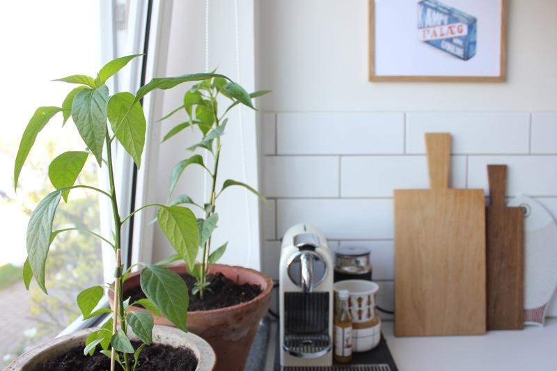 Chiliplanter_urbangarden