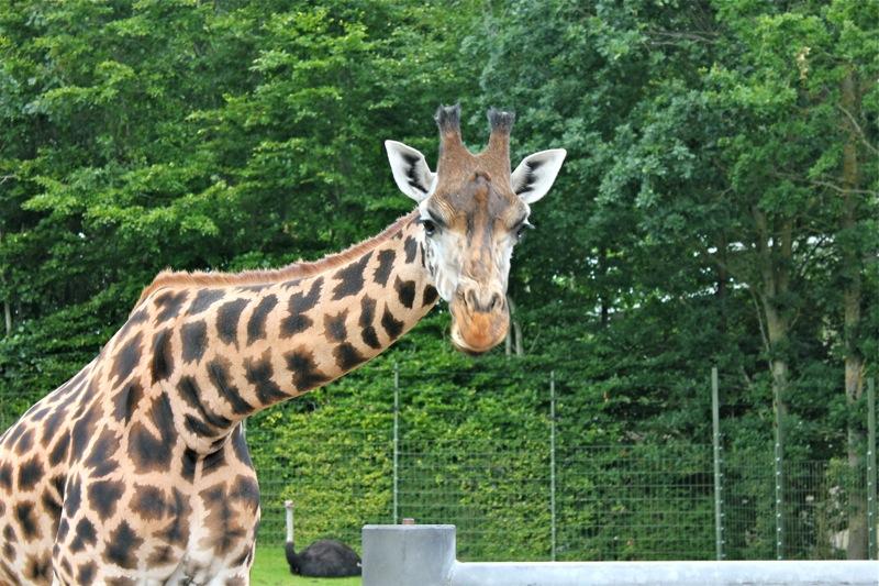 Aalborg_zoo_giraf