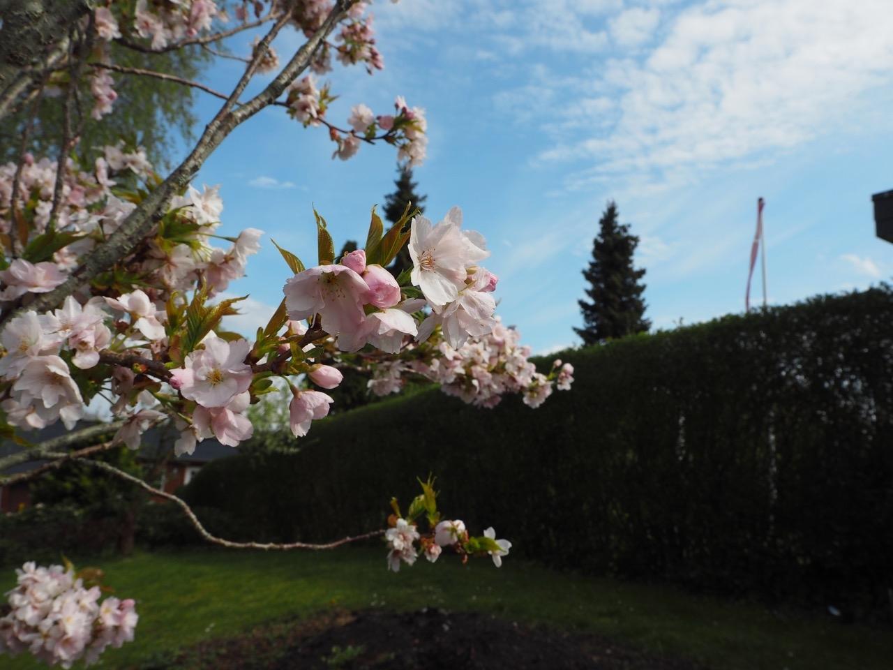 Kirsebaertrae_maj_blomstrer